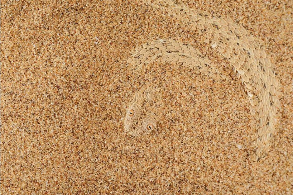 Un disfraz perfecto, esta serpiente se confunde entre la arena para asechar a sus presas. (Foto: Fabio Pupin/Royal Society)