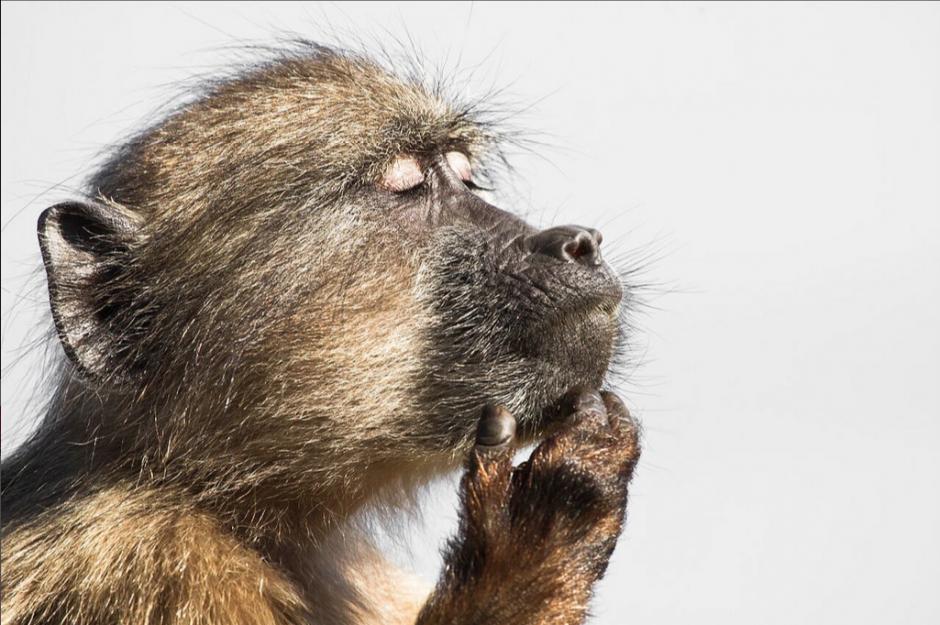 Un babuino se pierde en sus pensamientos, esta recibió mención honorífica, la foto fue capturada en la reserva natural de Cape Point, Sudáfrica. (Foto: Davide Gaglio/Royal Society)