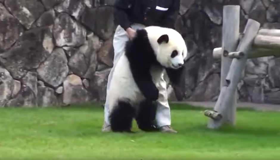 Un panda hace un berrinche cuando sus cuidadores le impiden hacer una travesura.(Imagen: N.Funny/ Facebook)