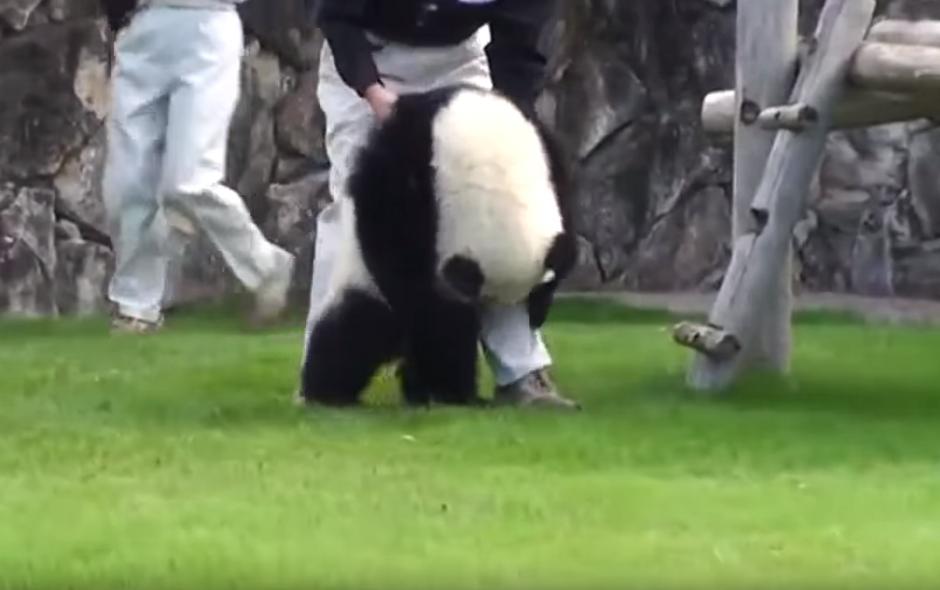 El berrinche de un panda en un recinto en Japón. (Imagen: N.Funny/ Facebook)