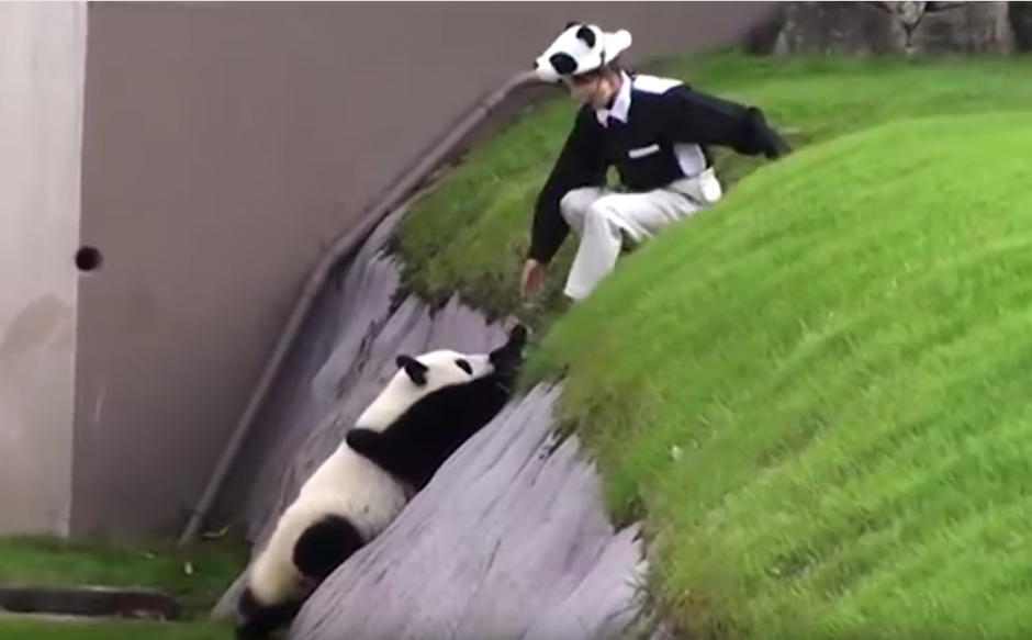 El panda al verse atrapado pide ayuda para salir. (Imagen: N. Funny/ YouTube)