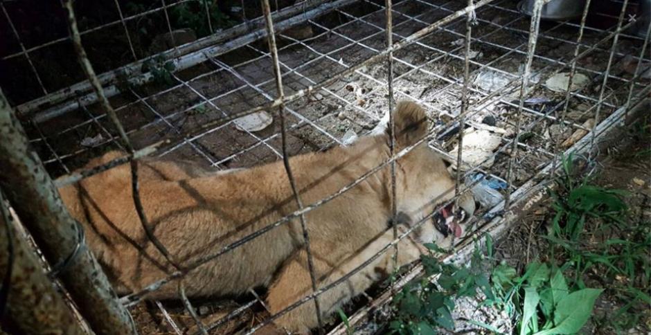 La leona fue localizada en la aldea La Reforma, Usumatlán, Zacapa, durante un operativo antidrogas de la PNC. (Foto: Conap)