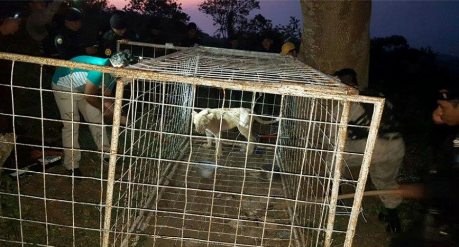 El animal fue ubicado en una finca privada durante un operativo. (Foto: Conap)