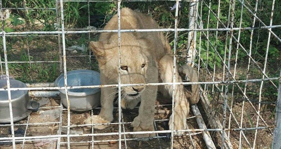 El mamífero fue ubicado en una jaula y sin comida. (Foto: Conap)
