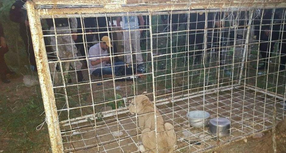 El felino fue llevado a una colección de fauna silvestre de la localidad y está al resguardo del Conap. (Foto: Conap)
