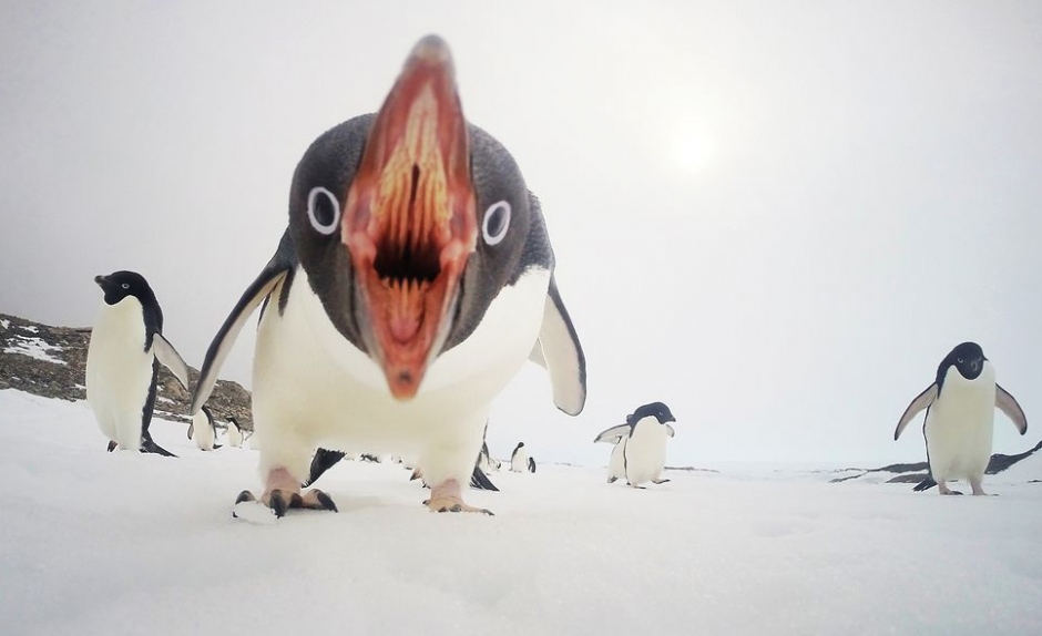 Cuando los pingüinos atacan, es una imagen captada en el hielo marino dela Antártida. (FotoClinton Berry/National Geographic)