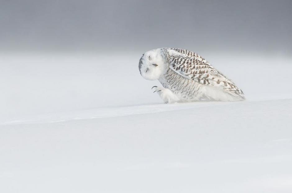 Contra el viento, muestra como un búho lucha por desplazarse en la ciudad de Quebec, Canadá. (FotoDominic Roy/National Geographic)