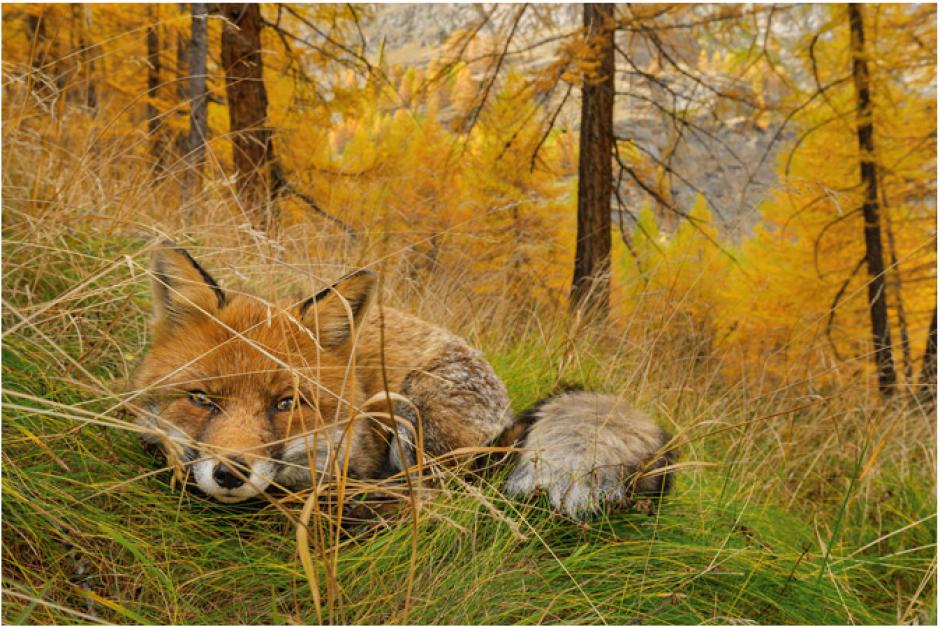 Esta fotografía muestra a un zorro que busca camuflarse en el pasto del Parque Nacional del Gran Paradiso. (FotoStefano Unterthine/National Geographic)