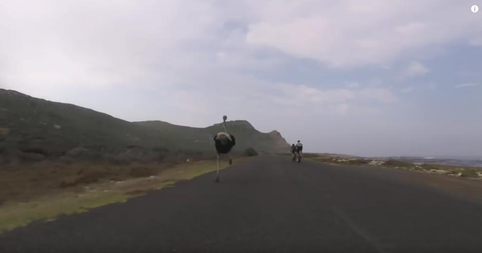 Una avestruz corre a toda velocidad detrás de dos ciclistas. (Imagen: Oleksiy Mishchenko/YouTube)