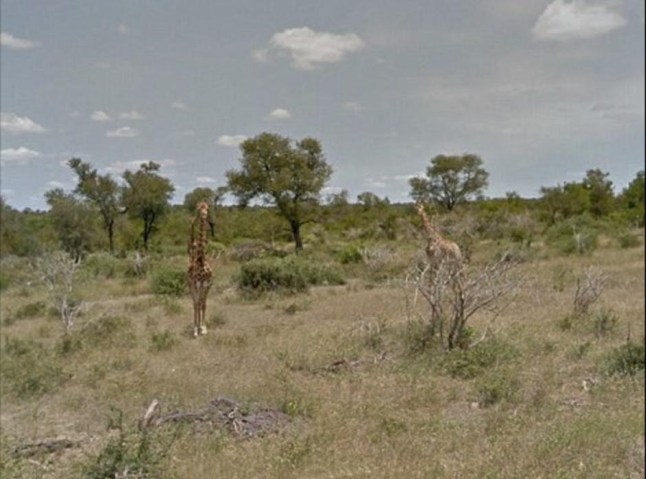 En el recorrido gracias a Google se pueden ver jirafas. (Foto: Google)