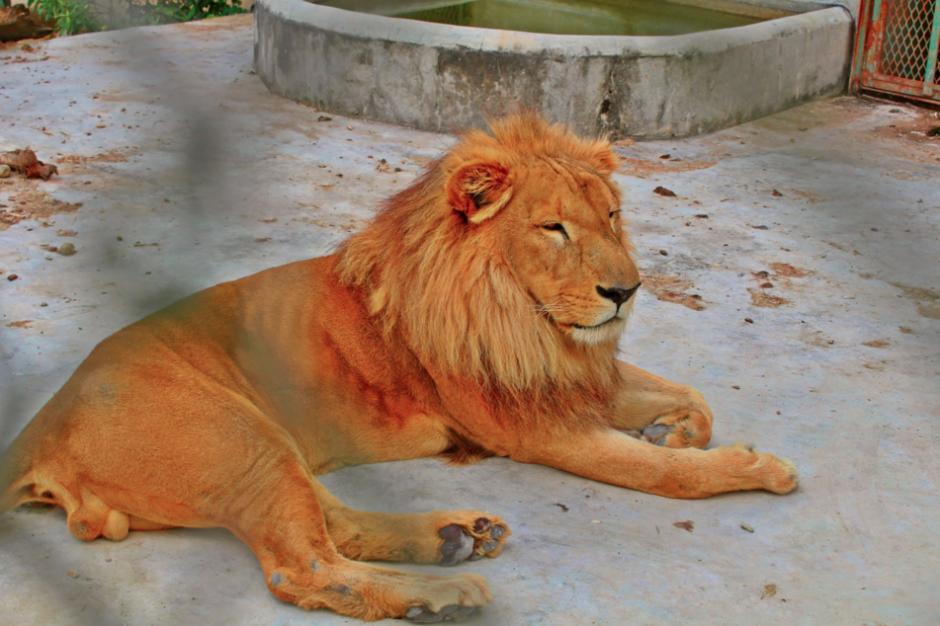 Este es uno de los tres leones propiedad de Obdulio Mendoza Matta. (Foto: FacebooK)