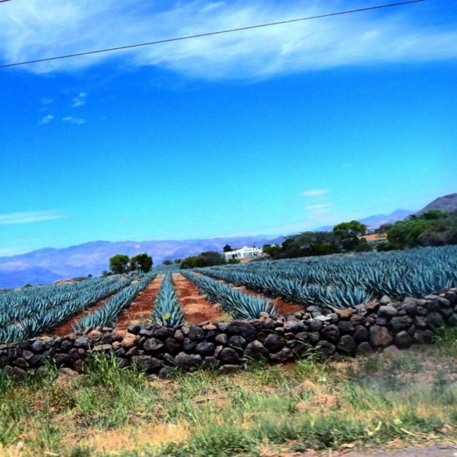 La anciana toma la fotografía de un campo de piñas camino a Tequila, Jalisco. (Foto: Instagram)
