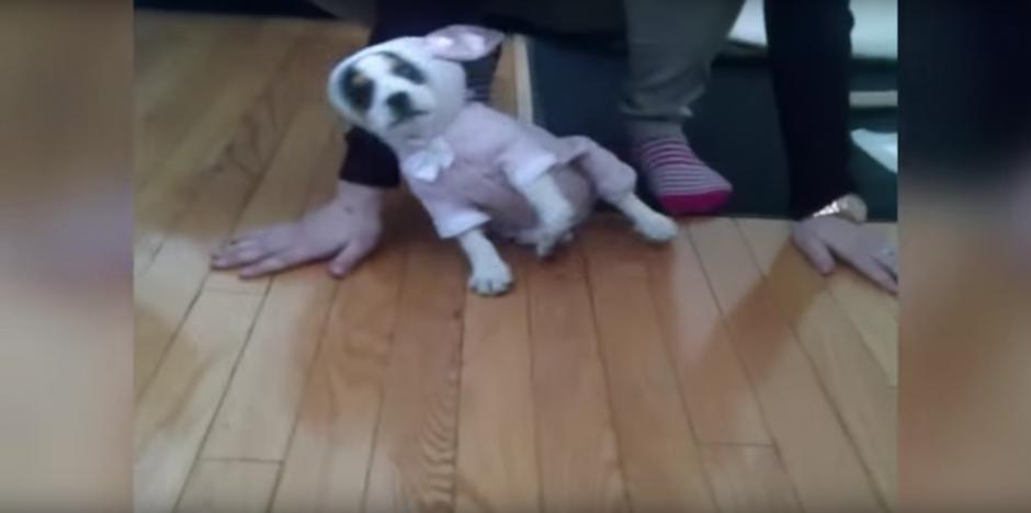 Después de ser vestido con un traje de conejo rosa, el cachorro se confunde  (Foto: Captura de Pantalla/Youtube)
