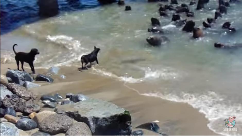 Después de varios intentos por introducirse al mar los perros terminan regresando a la orilla. (Foto: Tomado de YouTube)