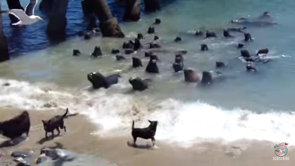 Al principio los perros se acercan a los mamíferos desafiándolos. (Foto: Tomado de YouTube)