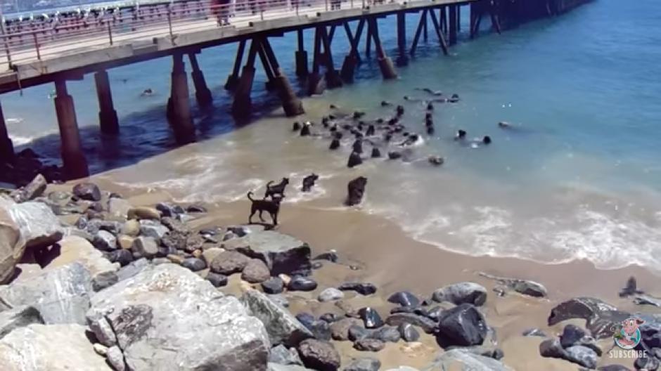 Un video fue difundido en redes sociales donde unos perros se enfrentan a unos lobos marinos. (Foto: Tomado de YouTube)