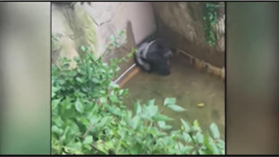 Las primeras imágenes del video muestran al gorila al fondo de su recinto. (Foto: Tomado de Youtube)