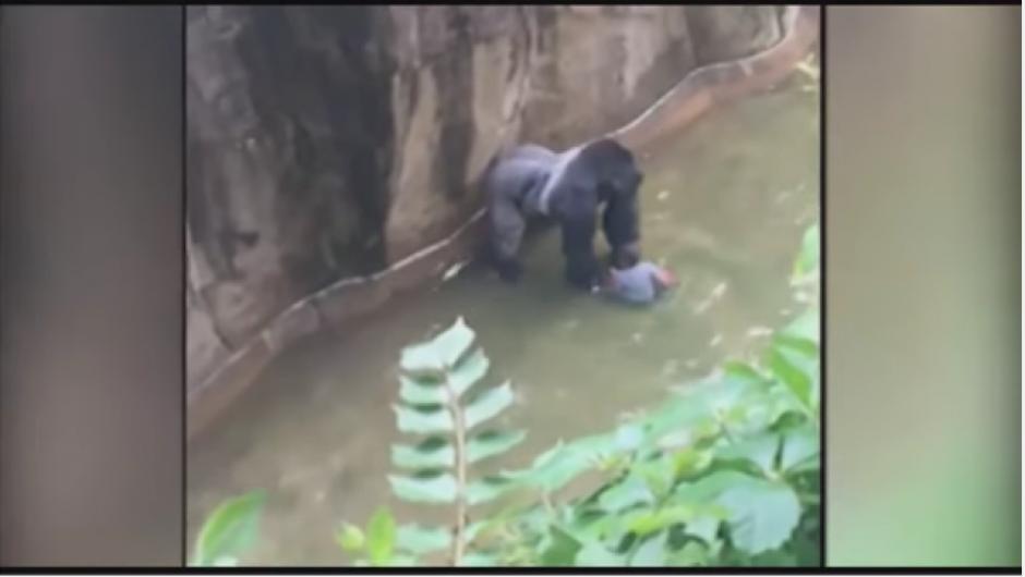 Con el fin de rescatar al niño, autoridades del Zoológico de Cincinnati decidieron matar al gorila. (Foto: Tomado de Youtube)