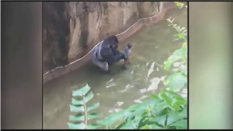 El gorila tomó al menor de cuatro años. (Foto: Tomado de Youtube)