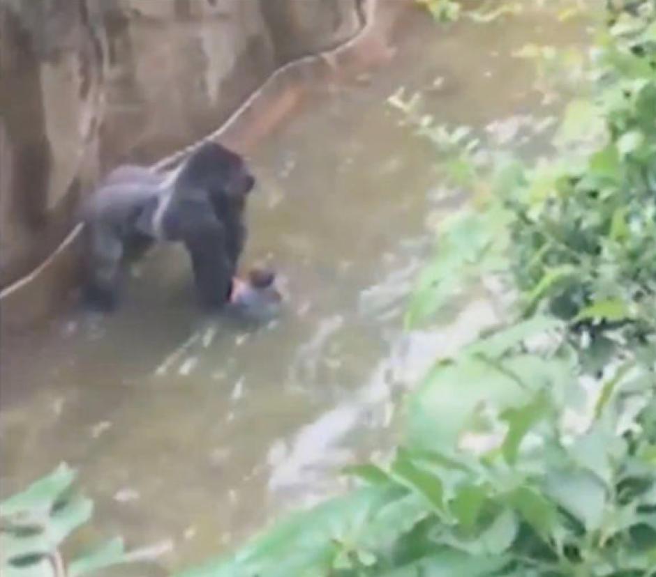 El niño se subió a través de una barrera en la sección pública del gorila y cayó en el foso, dijo el zoológico en un comunicado. (Captura de Pantalla: YouTube))