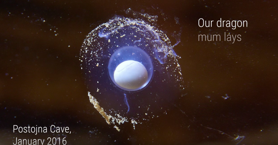 Después del nacimiento, los científicos tendrán la oportunidad de seguir paso a paso el crecimiento de los proteos. (Captura de pantalla: Postojnska jama Cave Grotte Höhle)