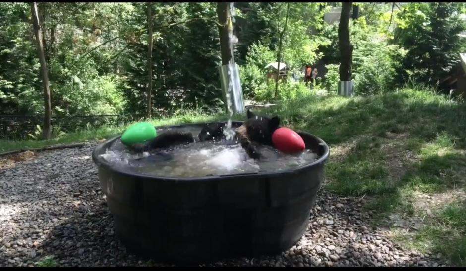 El oso disfruta de un día caluroso para echarse un buen chapuzón. (Captura Facebook)