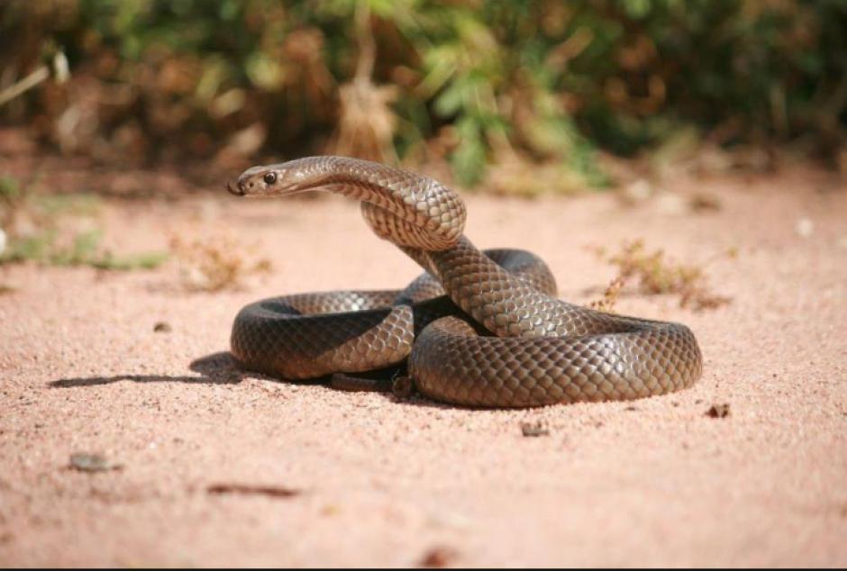 Las serpientes atacan al sentirse amenazadas. (Foto: infoserpientes.com)