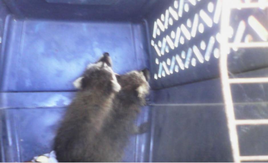 Se trata de dos mapaches que fueron localizados debajo de uno de los asientos del automóvil. (Foto: Diprona)