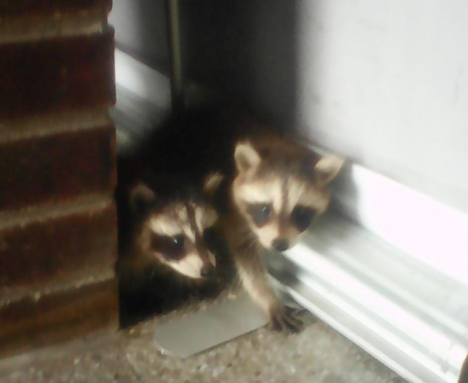 Los mapaches fueron trasladados a la sede en Izabal de Conap para su evaluación. (Foto: Conap Izabal)