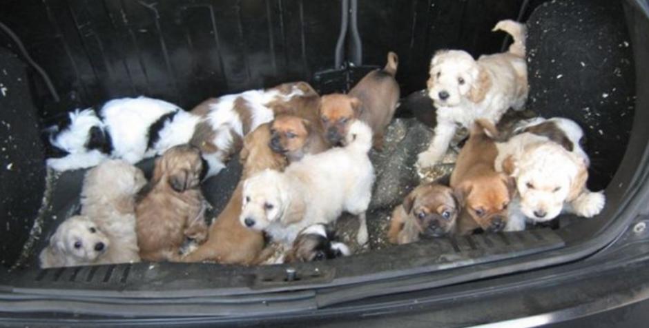 Los pequeños fueron rescatados en Escocia (FOTOS: ISPCA)