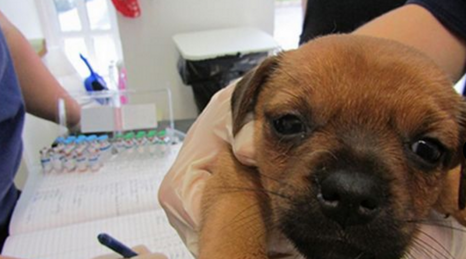Los cachorrillos tienen entre cuatro y ocho semanas de nacidos. (FOTOS: ISPCA)