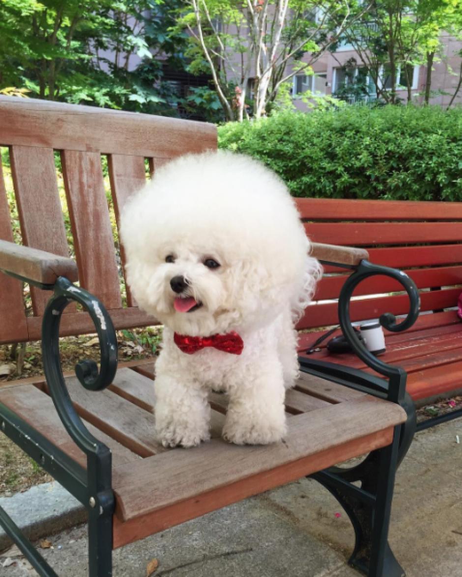 La perrita es de la raza Bichon Frisé y es originaria de Daegu al sureste de Corea del Sur. (Foto: Instagram)