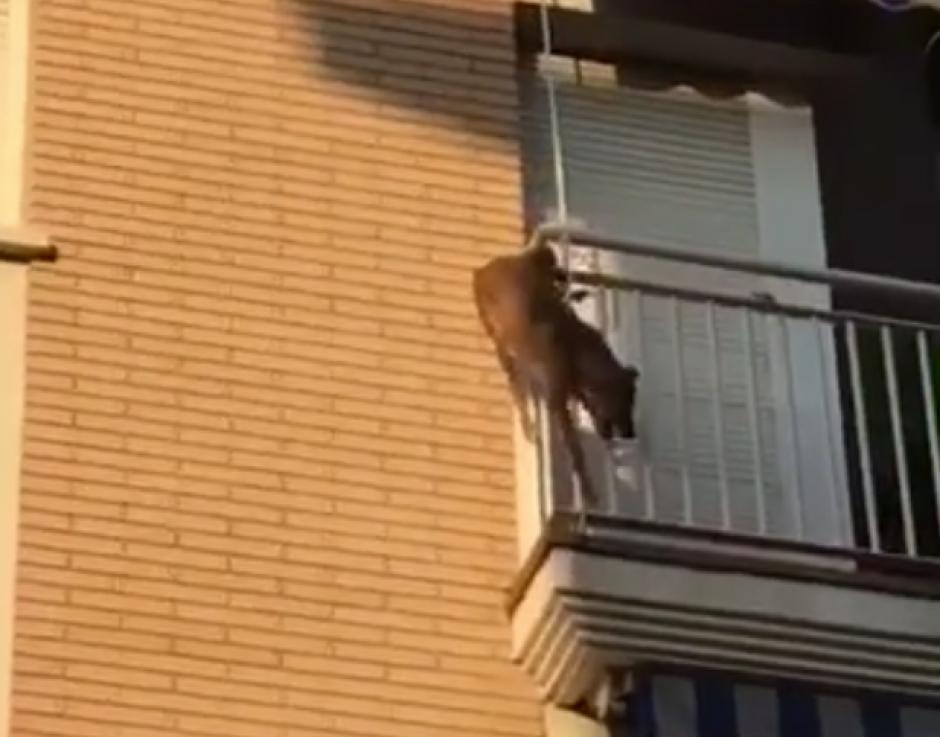 El can se tiró al vacío. (Captura de pantalla: Facebook/ Policia Local Polinya)