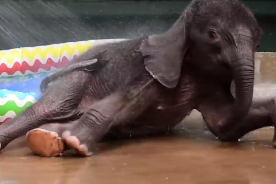 El pequeño elefante se encuentra en el zoológico de Dallas. (Foto: eldiariony.com)