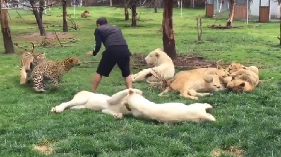 El tigre ataca al leopardo y el cuidado interviene para calmar a ambos felinos.  (Foto: Captura de video)