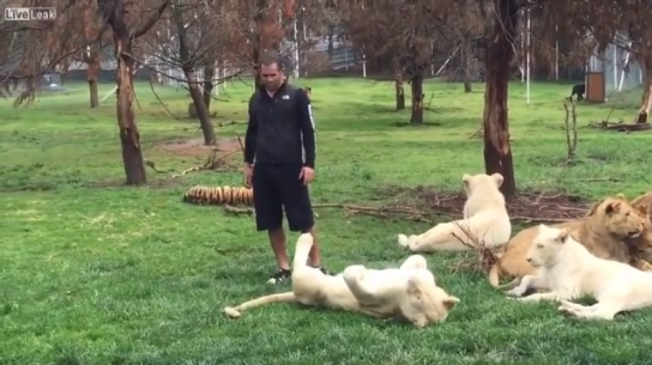 El cuidador de felinos no imaginaba el peligro que tenía a las espaldas.  (Foto: Captura de video)