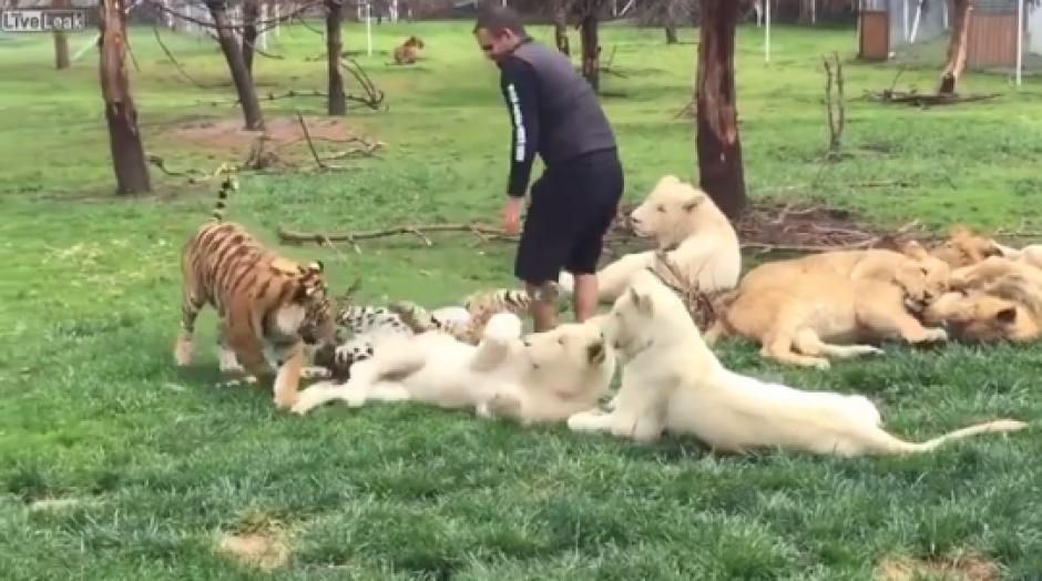 El tigre detiene al leopardo que pretendía atacar a su cuidador. (Foto: Captura de video)