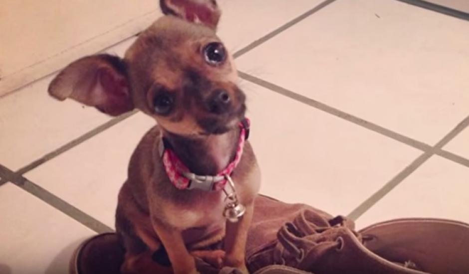 Mimi es una perrita chihuahua que en varias ocasiones ha acompañado a Germán en sus videos. (Foto: Youtube)
