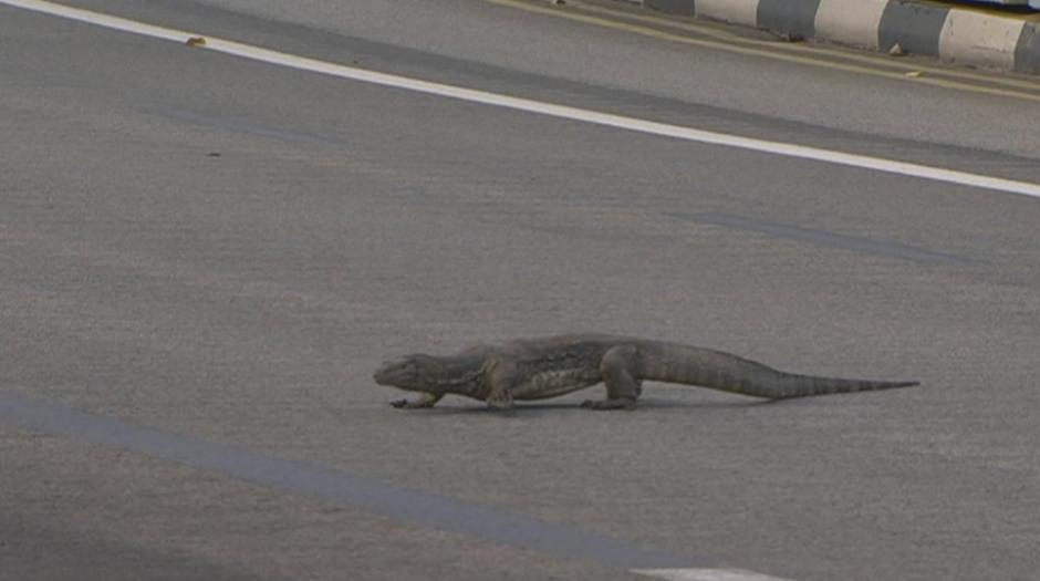 Un lagarto gigante se cruzó la pista en pleno entreno. (Foto: Twitter/@SkySportsF1)