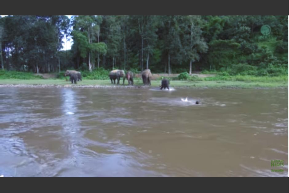 La pequeña elefanta ve que su cuidador está en peligro y no duda en ayudarlo. (Imagen: captura de YouTube)