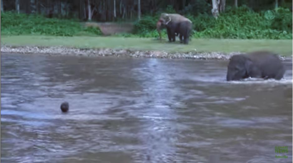 La noble elefanta cruza las aguas, mientras el hombre espera ver su reacción. (Imagen: captura de YouTube)