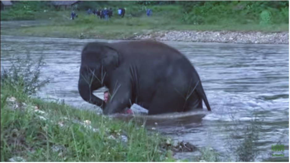 La elefanta no solo empuja al cuidador, sino que lo protege para que no sufra un golpe. (Imagen: captura de YouTube)