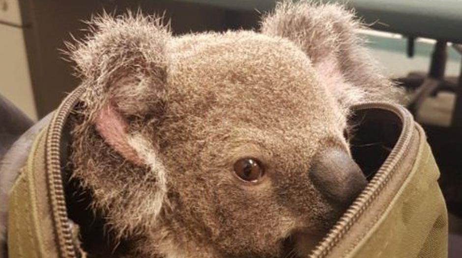 Un koala pretendía ser llevado en una mochila en el aeropuerto. (Foto: El País.com)
