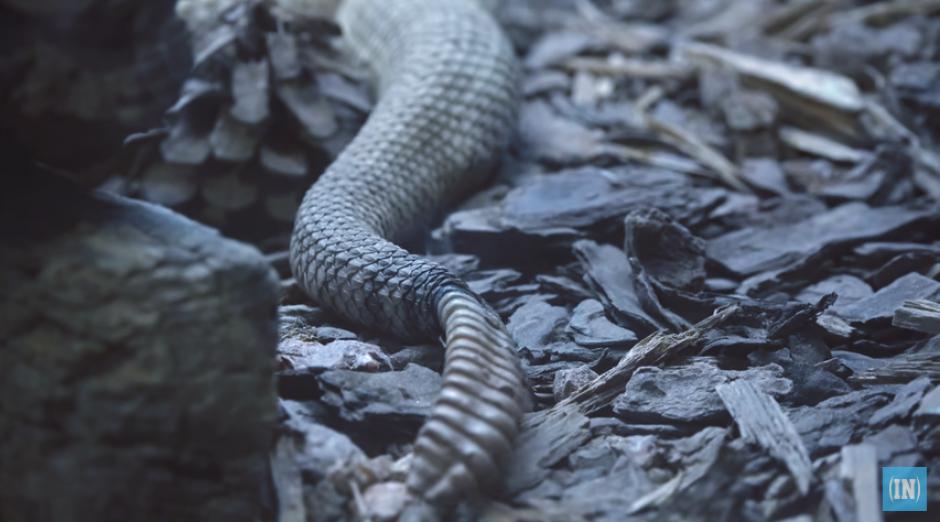 Abrir el cascabel de una serpiente llamó la atención de los curiosos. (Imagen: captura de YouTube)
