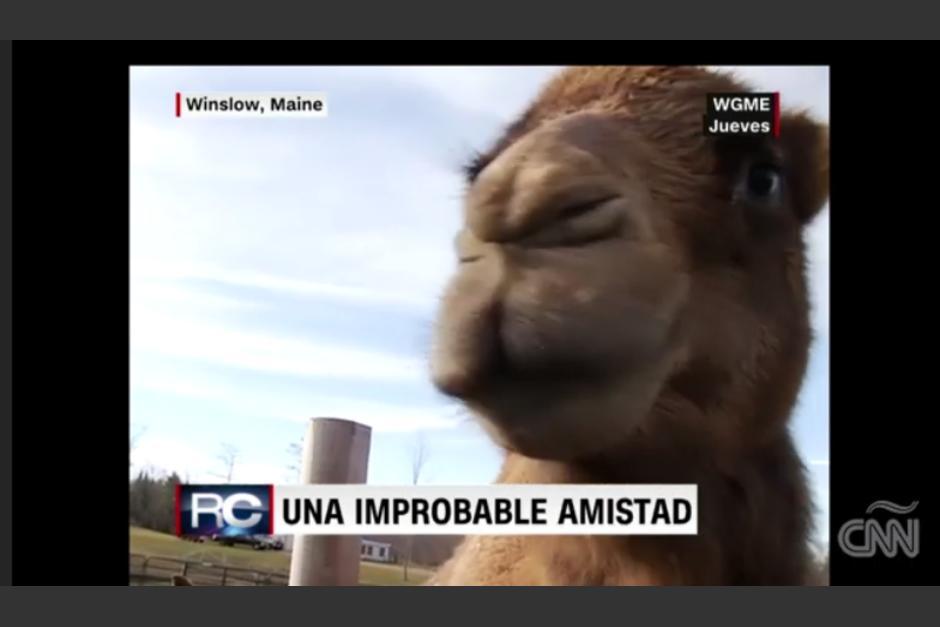 César el camello, es el guía de su amiga Dolly. (Imagen: captura de video)