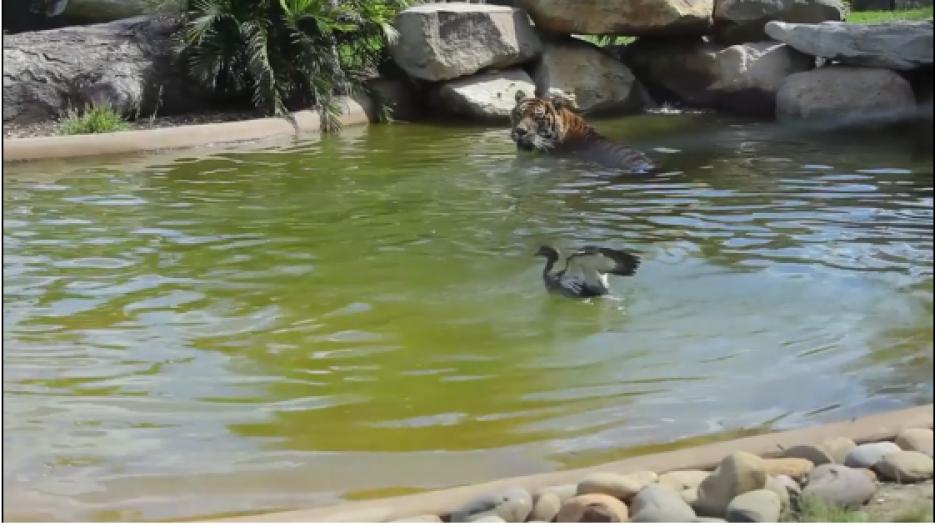 La astucia del pato pudo más que la fuerza del felino. (Captura Video)