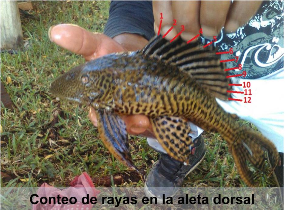 Por sus características, el biólogo asegura que se trata del pez diablo. (Foto: Hugo Villavicencio)