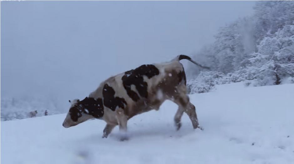 Las vacas disfrutaron de la nevada y jugaron bajo la tormenta. (Captura Youtube)
