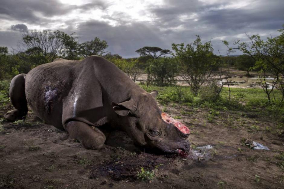 Un rinoceronte con el cuerno cortado tras ser abatido por cazadores. (Foto: Brent Stirton/Getty Images)
