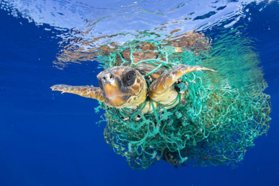 Una tortuga marina enredada en una pescadora. (Foto: Francis Pérez)